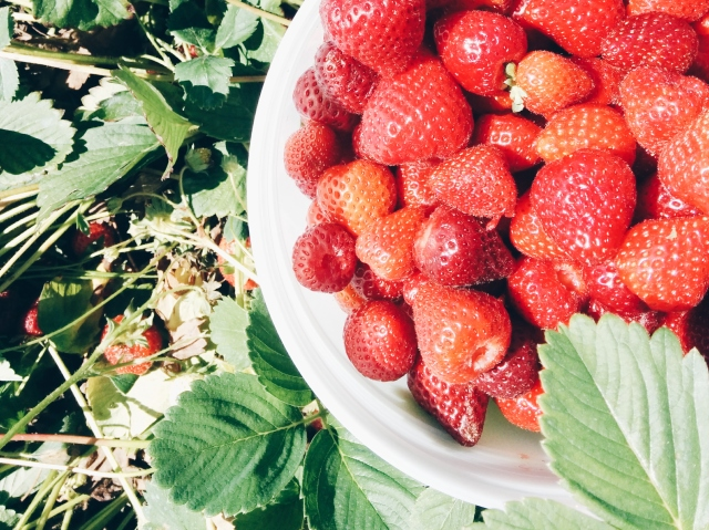 Strawberry picking tips for the first time berry picker Maan Farms